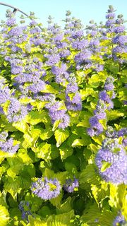 Barbe bleue - CARYOPTERIS clandonensis Good as gold - Arbuste