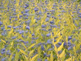 Barbe bleue - CARYOPTERIS clandonensis Worcester gold - Arbuste