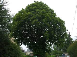 CASTANEA sativa AT