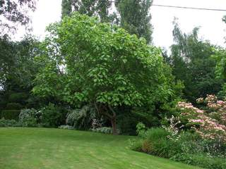 CATALPA  bignonoides AT