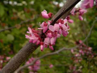 cercis forest pansy