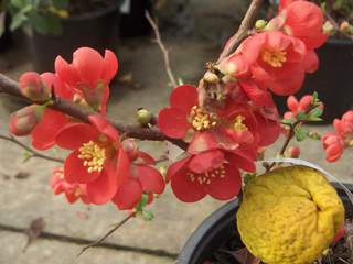 CHAENOMELES Crimson and gold