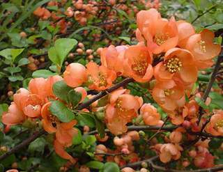 Cognassier du japon - CHAENOMELES Orange selection - Arbuste
