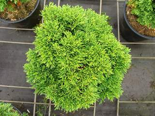 CHAMAECYPARIS lawsoniana 'Green Globe' AT