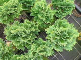 CHAMAECYPARIS lawsoniana 'Minima Glauca' AT