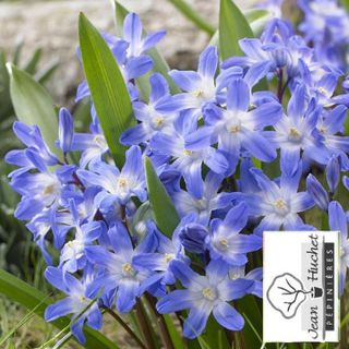 Gloire des Neiges - Chionodoxa forbesii 'Blue Giant' -lot de 10- - Bulbe