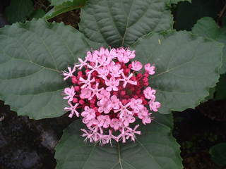 Clerodendron de bunge, Clerodendron fétide - CLERODENDRUM bungei - Arbuste