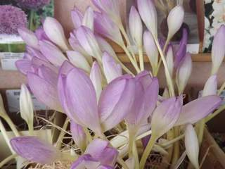 Colchique - COLCHICUM The Giant - Bulbe