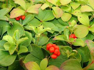 CORNUS canadensis AT