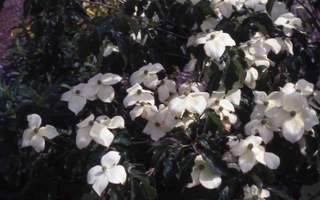 cornus kousa chinensis national