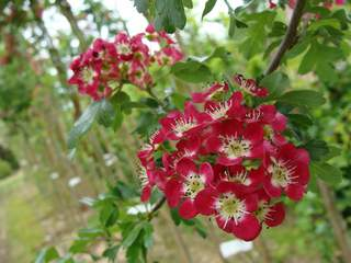 CRATAEGUS Crimson Cloud