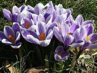 Crocus - CROCUS vernus Pickwick - Bulbe
