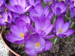 Crocus - CROCUS tommassinianus Ruby Giant - Bulbe