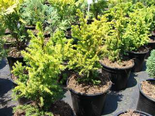 CRYPTOMERIA japonica 'Vilmoriana'AT
