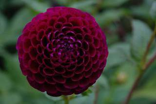 Dahlia nain - DAHLIA pompon Downham Royal - Bulbe