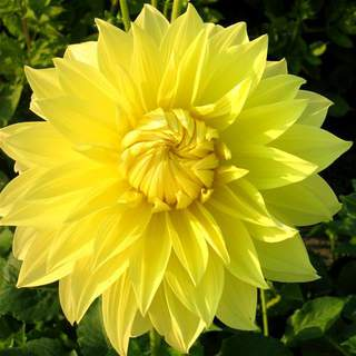 Dahlia Glory of Heemstede
