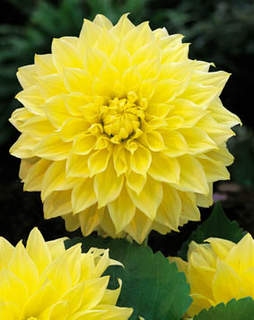Dahlia Kevin Floodlight
