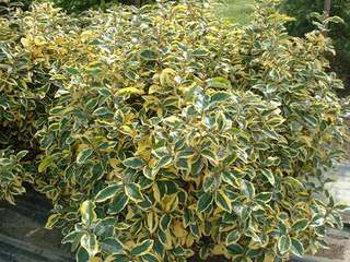 ELEAGNUS ebbingei Gilt hedge