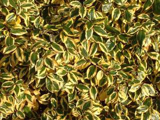 ELEAGNUS ebengei gilt hedge