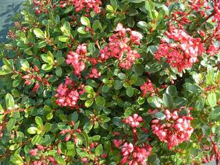 Escallonia - ESCALLONIA 'Red dream' - Arbuste