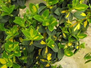 EUONYMUS fortunei 'Blondy ®'