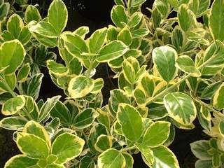 EUONYMUS japonica President Gauthier