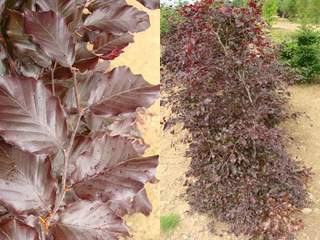 Hêtre pourpre - FAGUS sylvatica 'Purpurea' - Lot de 25 plants - - Kit haie