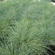 Festuca Blue Select