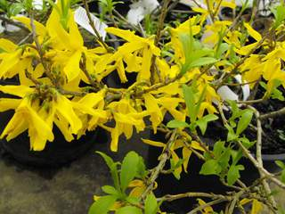 FORSYTHIA Maree d'or
