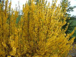 FORSYTHIA 'Mini gold