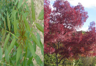 FRAXINUS angustifolia RaywoodC AT