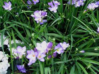 freesia bleu