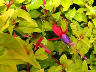 FUSCHIA 'Genie' at