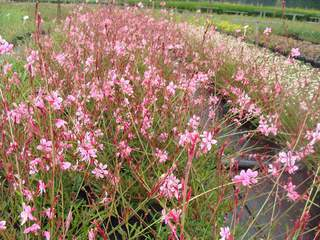 Gaura - GAURA lindheimeri Red color - Vivace