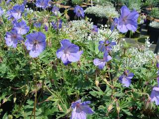 Geranium 'Jonhson's Blue' at