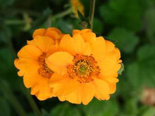 GEUM chiloense 'Lady Stratheden' ext
