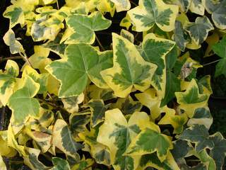 HEDERA 'Yellow Ripple'