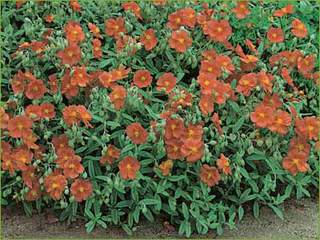 Helianthemum-hybrides