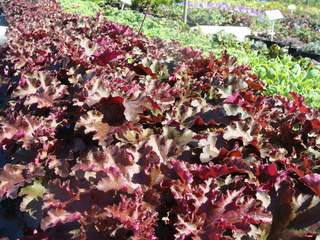 Heuchera 'Beauty Color' at