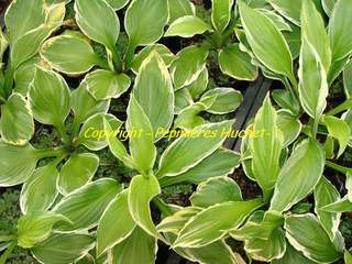 HOSTA Albomarginata AT