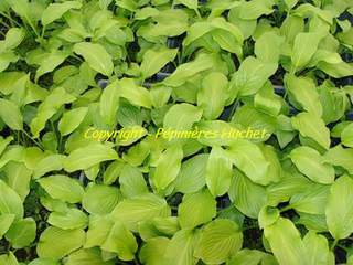 HOSTA Honey Bells AT