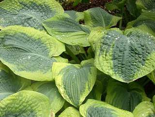 Hosta - HOSTA sieboldiana France Williams - Vivace
