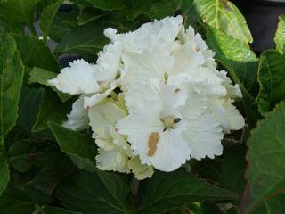 HYDRANGEA macrophylla 'Nymphe' AT