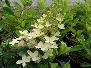 Hydrangea Mariesi Hortensia A Fleur Plate Arbuste
