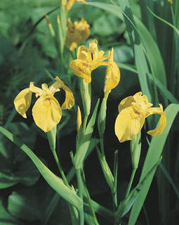 Iris de Hollande - IRIS hollandica 'Jaune' -lot de 15 - Bulbe