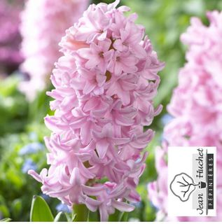 Jacinthe - JACINTHE  'Pink Surprise' -lot de 5 bulbes- - Bulbe