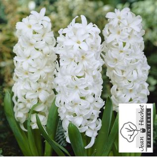 Jacinthe - JACINTHE  'Top White' -lot de 5 bulbes- - Bulbe