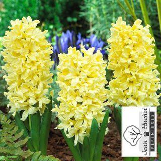 Jacinthe - JACINTHE  'Yellow Queen' - lot de 5 bulbes- - Bulbe
