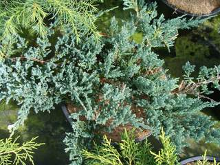Juniperus 'Blue Chips' at
