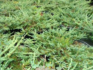 JUNIPERUS communis repanda AT